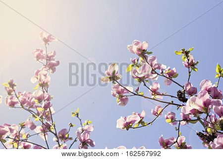 Blooming magnolia branch on a tree in the garden. Flowering magnolia tree densely covered with beautiful fresh pink flowers