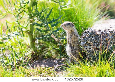 Funny close-up ground squirrel aka European souslik or gopher