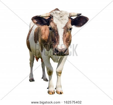 Funny cute red cow isolated on white. Funny spotted cow looking straight. Farm animals. Cow, standing full-length in front of white background. Pet red young cow on white.