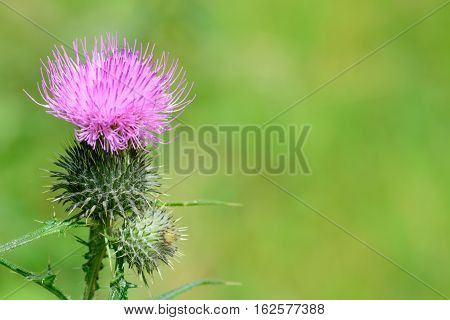 Pink milk thistle flower in bloom. Milk Thistle plant (Silybum marianum) herbal remedy Saint Mary's Thistle macro over green background.