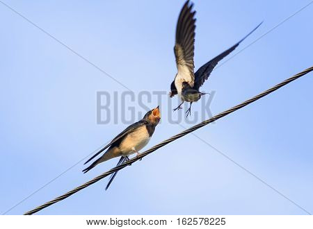 bird swallow feeds its Chicks on wires on blue sky background