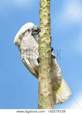 Image of the white cockatoo climbing on a tree