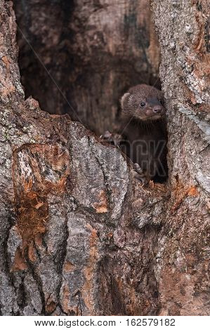 Fisher (Martes pennanti) Kit Peeks Out of Hole in Tree - captive animal