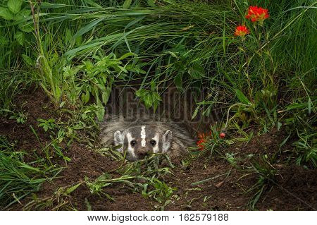 North American Badger (Taxidea taxus) Glares Out from Within Den - captive animal