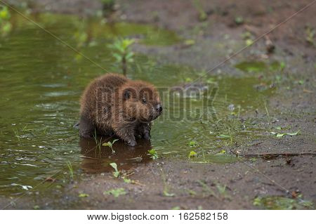 North American Beaver Kit (Castor canadensis) Stands at Edge of Water - captive animal
