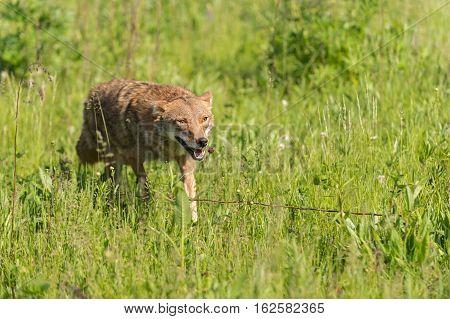 Coyote (Canis latrans) Runs Forward Through Grass - captive animal