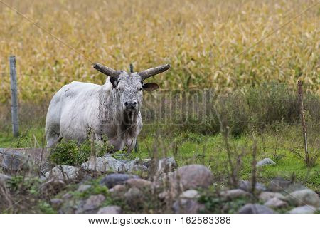 A large horned bull on a farm