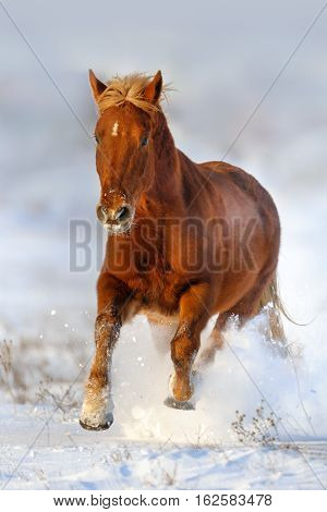 Beautiful red horse with blond mane run gallop in winter snow field
