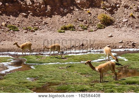 Herd of Vicunas at Vegas de Putana wetland Atacama desert Chile