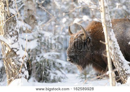European bison (Wisent Bison bonasus) in winter forest. National park Ugra Kaluga region Russia. December 2016