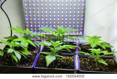 Six young green female cannabis plants with LED light.