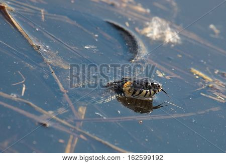 grass snake called the ringed snake or water snake in lake