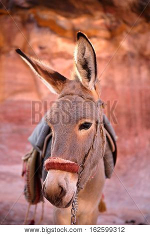 PETRA, JORDAN: A cute Donkey with colorful background