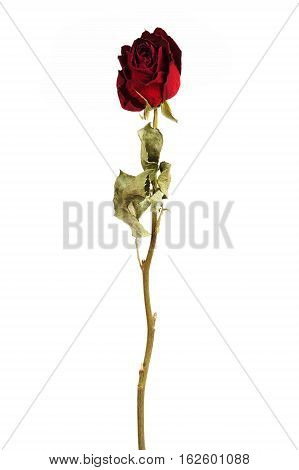 Vinous dried rose on a white background