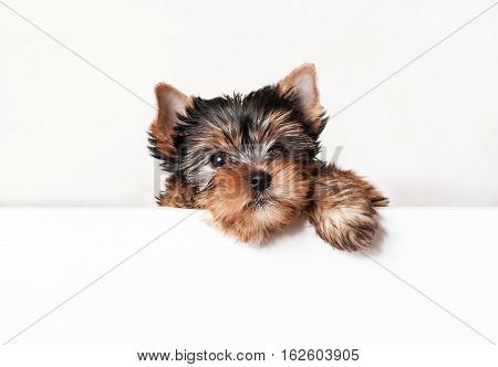 Puppy Yorkshire terrier close up with blank