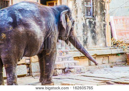 Indian Holy Elephant of Hampi, Unesco heritage site, India