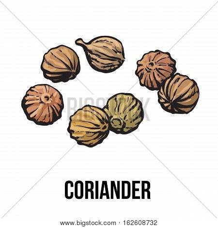 Coriander seeds, sketch style vector illustration isolated on white background. Realistic hand drawing of coriander seeds, popular spice and seasoning