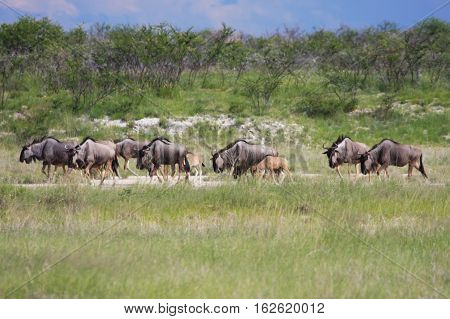 Herd Wildebeest Moves To A New Location Pastures.      In The Etosha Park, N