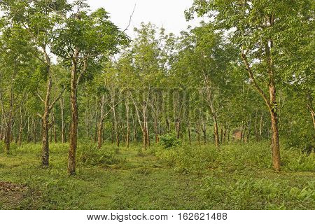 Rubber trees on a Plantation in Assam India