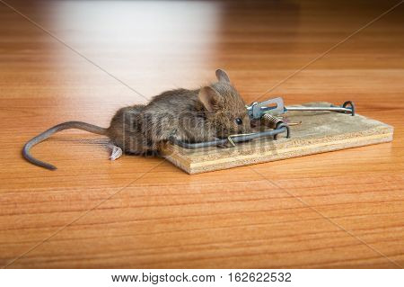 Dead mouse caught in mousetrap on wooden floor.
