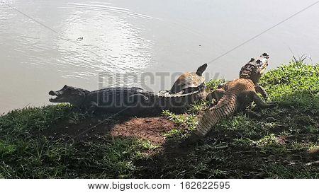 2 krokodillen en een schildpad in aan het zonnen in panama