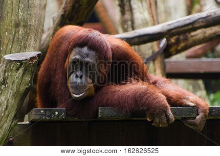 Orangutan in a sad or thinking pose.