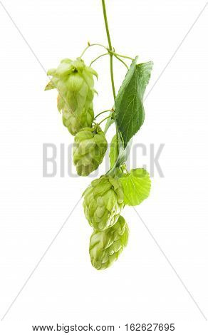 ferment beer Hop cone isolated on white background