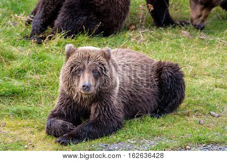 Young Alaska brown bear resting on the bank of the Brooks River