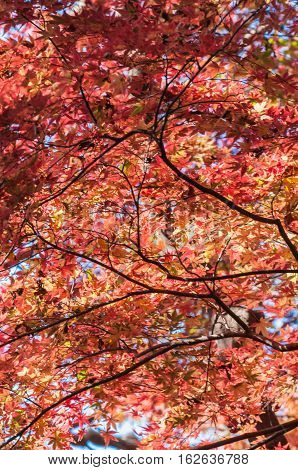 So Beautiful Autumun leaves in Kamakura City.