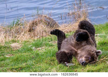 Young Alaska brown bear playing on the bank of the Brooks River