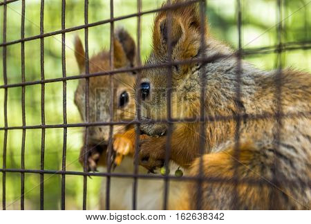 close-up red squirells (Sciurus vulgaris) eat the barberry in the cage