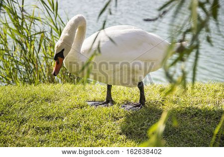 close-up of the mute swan (Cygnus olor)