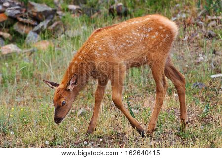 A young elk calf grazing in Yellowstone National Park United States.