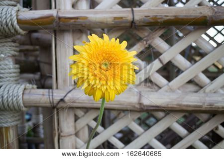 Beautiful yellow flower gerbera close-up stock photo