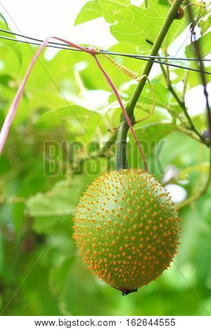 Southeast Asian fruit commonly know as Gac Baby jackruit Spiny bitter gourd Sweet grourd or cochinchin gourd. Very delicious and medicinal properties