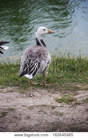 close-up of the emperor goose (Anser canagicus)