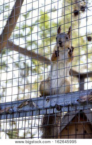 close-up red squirell (Sciurus vulgaris) in cage
