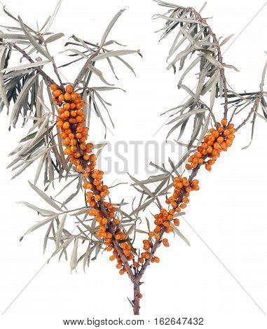 Sea buckthorn branch with leaves isolated on white background.
