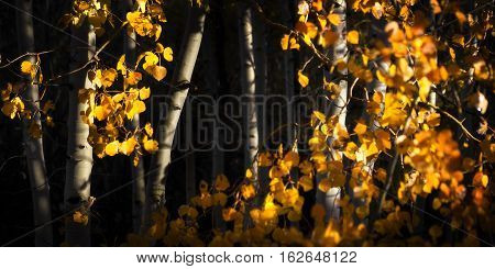 First Light On Aspen Trees In Fall Color. Shallow Depth Of Field And Dark Trees Lend A Feeling Of My