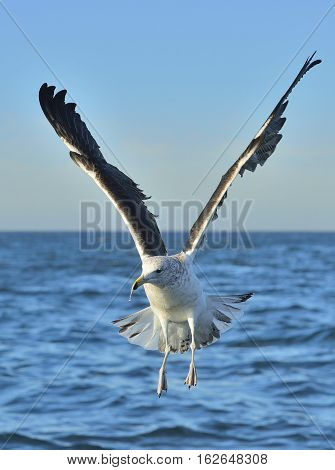 Flying Kelp Gull (larus Dominicanus), Also Known As The Dominican Gull And Black Backed Kelp Gull. F