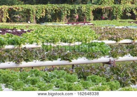 Green cos lettuce / Butter head hydroponics vegetable farm.