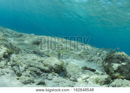 French grunt (Haemulon flavolineatum) and juvenile bluehead wrasse (Thalassoma bifasciatum) reef fish congregate in the crystal clear Caribbean water of Cozumel Mexico