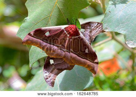 Big Butterfly Gonimbrasia Belina, Emperor Moth Madagascar
