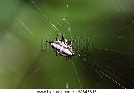 Spiny Orb-weaver Or Crab Spider Madagascar