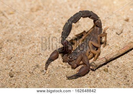 Scorpions, Predatory Arachnids Madagascar