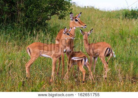 Small herd of impalas. Impala baby. Tarangire, Africa