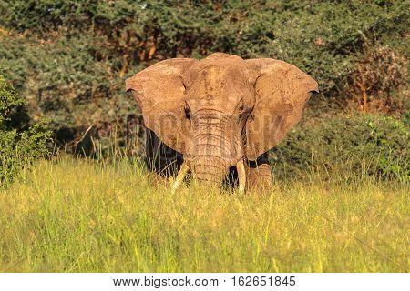 Huge boss. Red elephant from Tarangire. Tanzanya, Africa