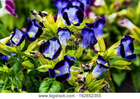 Wishbone flower Bluewings Torenia natural beauty and colorful splendor.