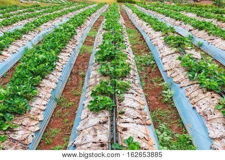 Organic strawberry field with young green strawberry plants in northern Thailand