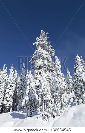 Snow Covered Pine Trees Near Lake Tahoe, Ca With Blue Sky.